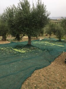 raccolts olive